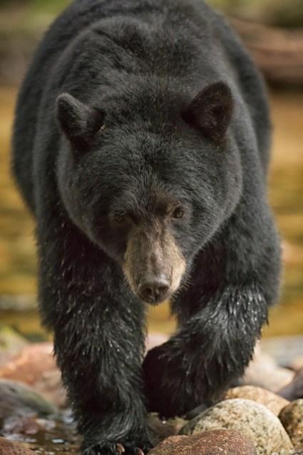 Black bear in B.C.