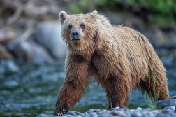 Grizzly bear in Great Bear Rainforest.