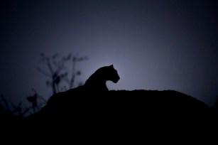 Leopard in black.