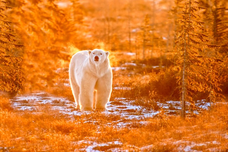 Polar bear in fall colours at Dymond Lake Ecolodge. Dennis Fast photo.