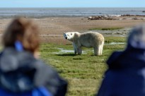 Polar bear between guests at Nanuk Polar Bear Lodge.