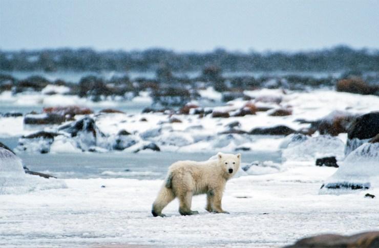 Curious polar bear cub at Seal River Heritage Lodge.