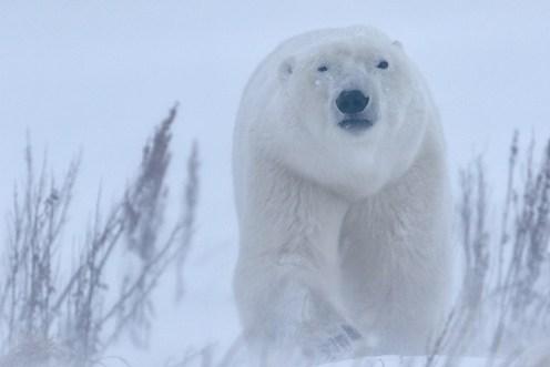 polarbearinstorm_dymondlakeecolodge_robertpostma