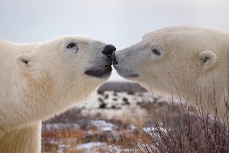 Polar bears conversing at Seal River Heritage Lodge. Daniel D'Auria photo