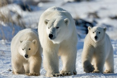 polar-bear-cubs-and-mom-churchill-wild