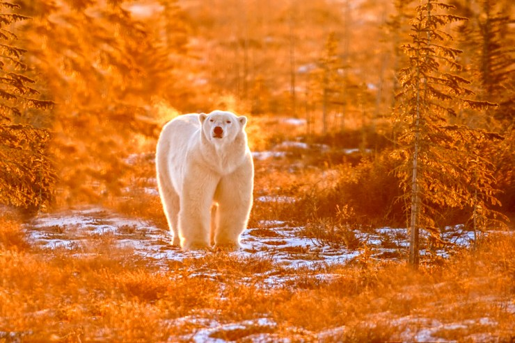 Polar bear in fall snow skiff at Dymond Lake Ecolodge. Dennis Fast photo.