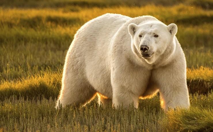 Polar bear in setting sun at Nanuk. Ann Fulcher photo.