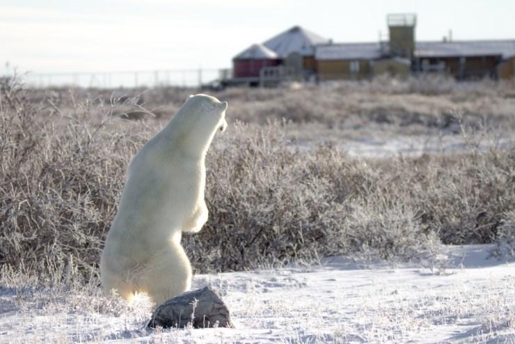 Polar bear keeping an eye on Seal River Heritage Lodge. Tiffany Lacey photo.