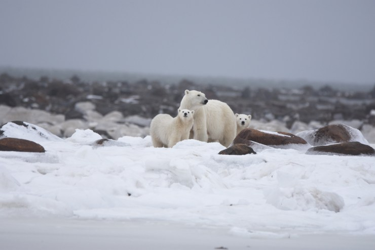 Polar bear mom and cubs waiting for the ice to fully form on Hudson Bay. Photo by Churchill Wild guest Steve Levi.