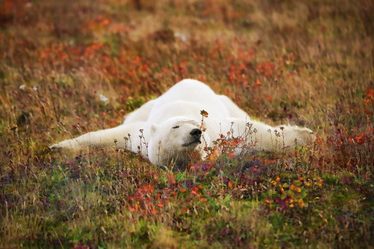 Polar bear splayed out in fall colours at Nanuk Polar Bear Lodge. Ruth Elwell-Steck photo.