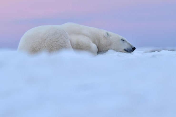 Polar bear on a cloud at Seal River. Ian Johnson photo.