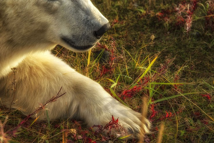 Polar bear paw. Robert Postma photo.