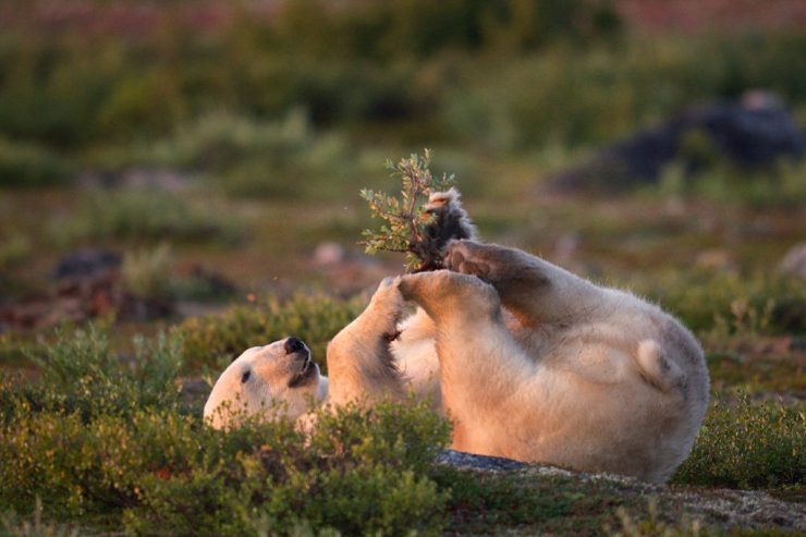 Polar bear playing in the summer. Seal River Heritage Lodge. Jad Davenport photo.