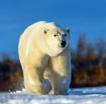 polar-bear-scarbrow-churchill-wild - Copy