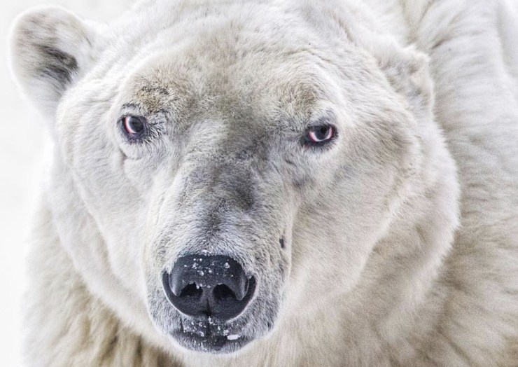 """Warrior Pete"" the polar bear at Seal River Heritage Lodge. Jenny Loren photo."