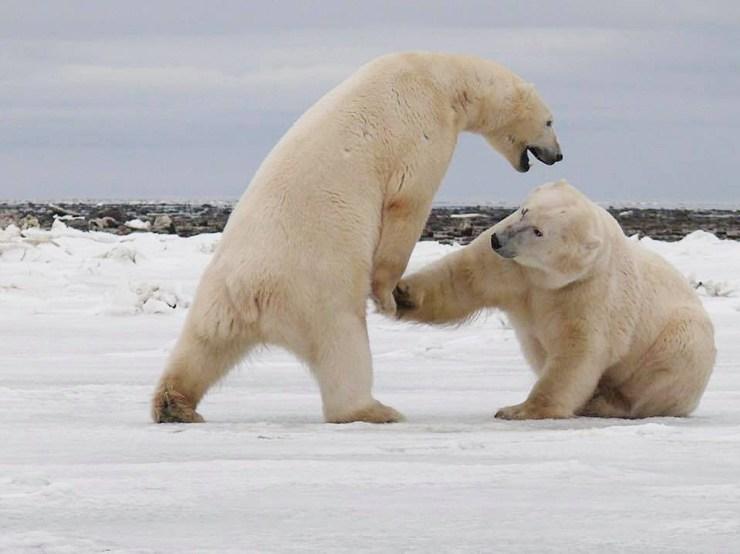 Polar bears sparring on Dymond Lake. Marta Szczycinska Spingardi photo.