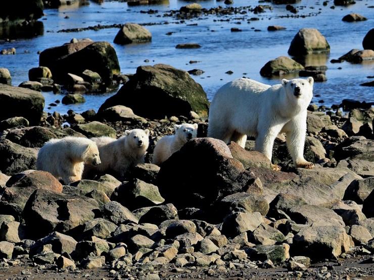 Rare polar bear triplets at Seal River. Quent Plett photo.