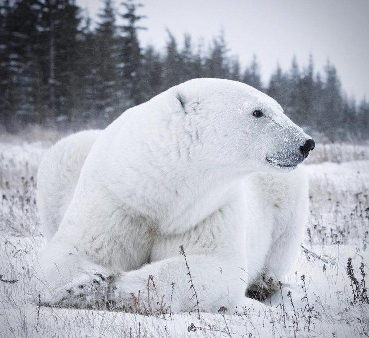Sumo the polar bear at Nanuk Polar Bear Lodge. Anjali Singh photo.