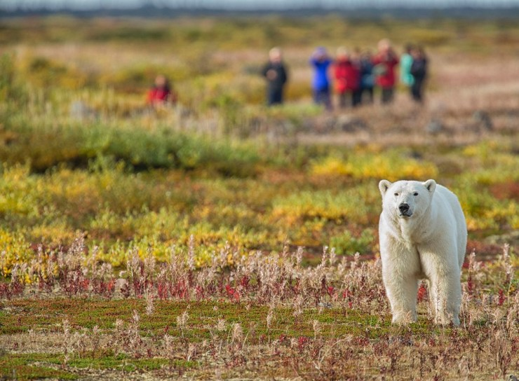 A summer walk with polar bears at Seal River Heritage Lodge. Robert Postma photo.