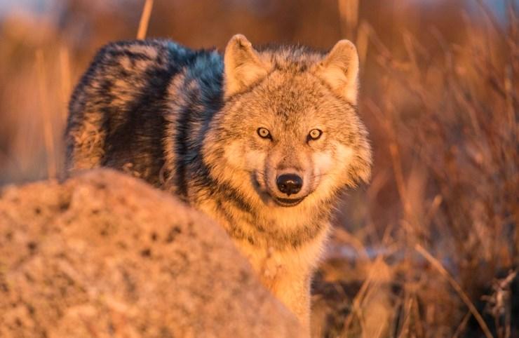 Wolf at Nanuk Polar Bear Lodge. Robert Postma photo.