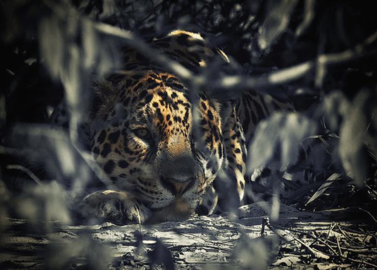 Jaguar in the bushes in Brazil's Pantanal. Ian Johnson photo.
