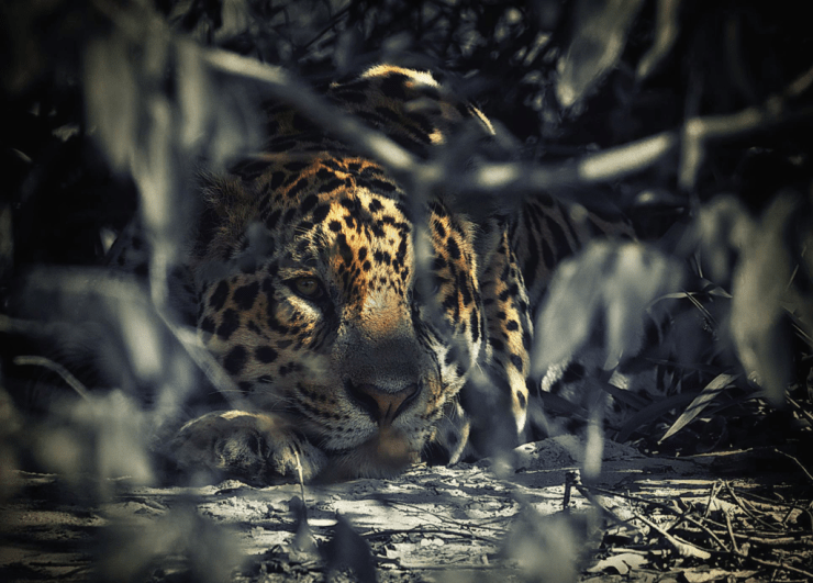 Jaguar in the bushes in Brazil's Pantanal. Ian Johnson photo.