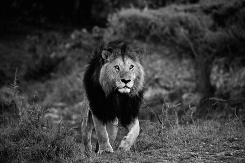 male-lion-Mara-Ian-Johnson-Safaris-photo