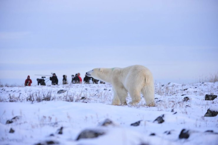 Polar bear in blue light with guests at Seal River Heritage Lodge. Ian Johnson photo.