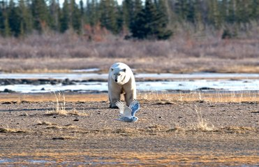 polar-bear-eyes-snowy-owl-Churchill-Wild-Nanuk-Ian-Johnson