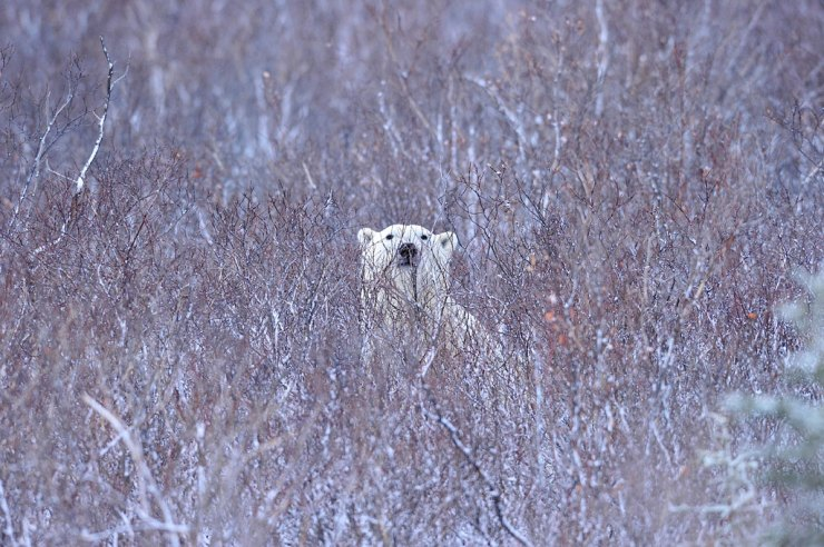 Polar bear in the willows. Ian Johnson photo.