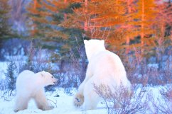 polar-bear-mom-and-cub-fall-colours-snow-Churchill-Wild-Nanuk-Ian-Johnson
