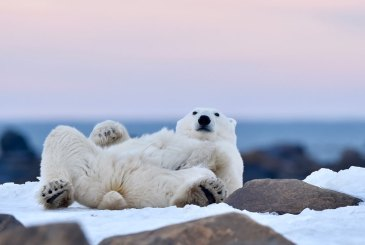 polar-bear-says-what-Churchill-Wild-Seal-River-Ian-Johnson