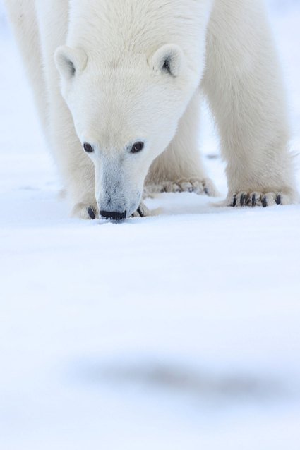 polar-bear-watching-us-Churchill-Wild-Nanuk-Ian-Johnson