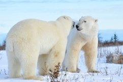 polar-bear-whispers-Nanuk-Polar-Bear-Lodge-Ian-Johnson-Nanuk