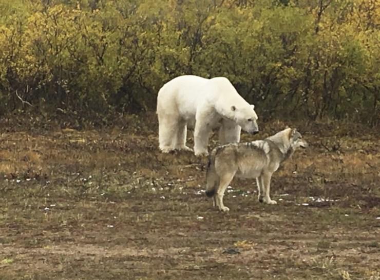Wolf and polar bear looking at black bear at Nanuk. Natasha George photo.