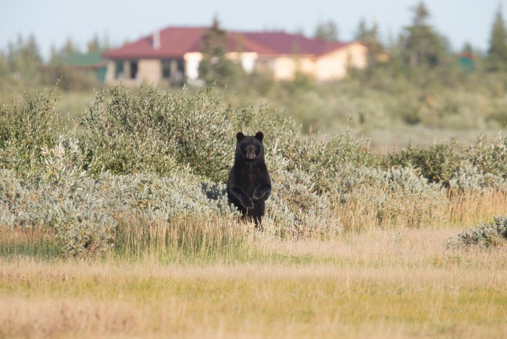 Peek-a-boo! Black bear checking out the scene in front of Nanuk Polar Bear Lodge. Robert Postma photo.