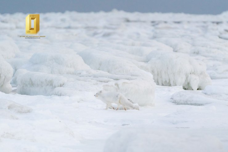 Arctic fox scurries away at Seal River Heritage Lodge. Anthony Lau photo.