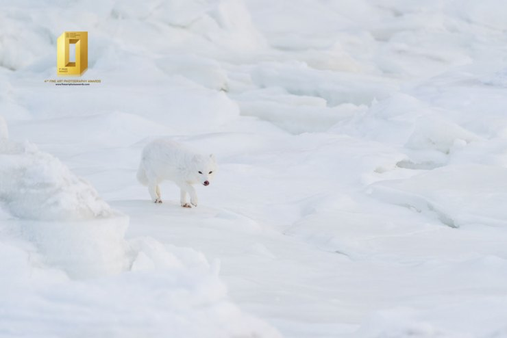 The Approach. Arctic fox at Seal River. Anthony Lau photo.