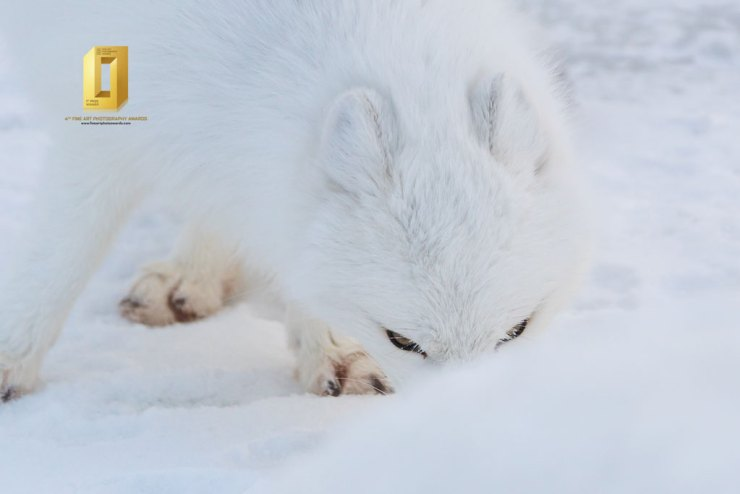 Watching. Arctic fox at Seal River Heritage Lodge. Anthony Lau photo.