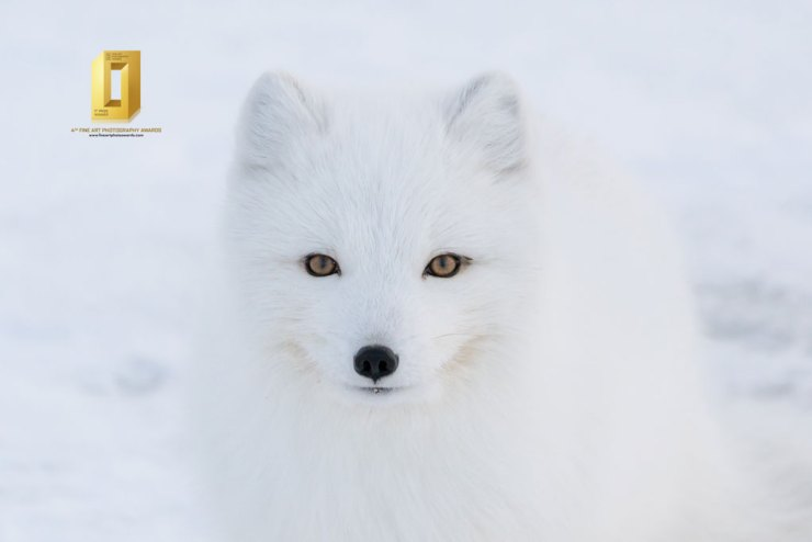 Intimate moment with an Arctic fox at Seal River Heritage Lodge. Anthony Lau photo.