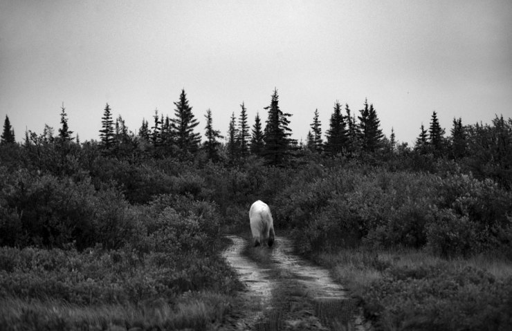 Polar bear wanders into the silent wilderness at Nanuk Polar Bear Lodge.