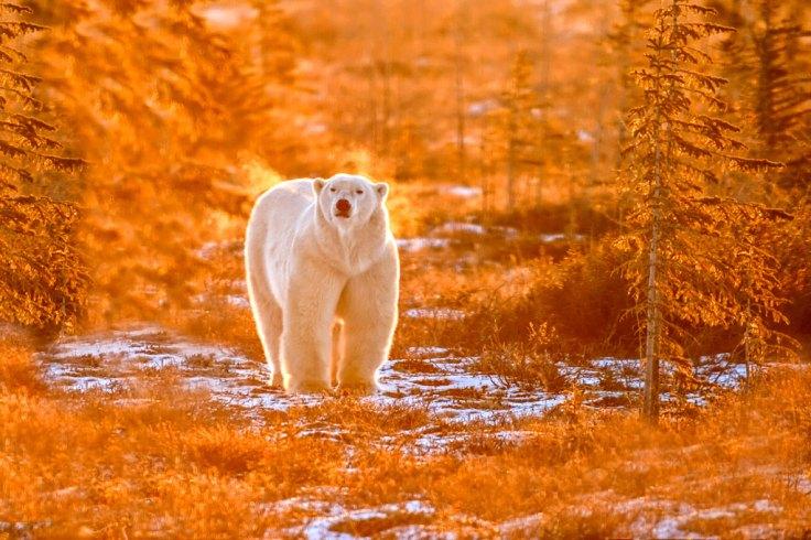 Polar bear in fall colours. Dymond Lake Ecolodge. Great Ice Bear Adventure. Churchill Wild. Dennis Fast photo.