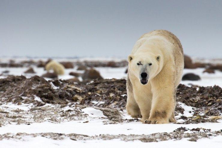 Semi-resident polar bear Scarbrow likes Dymond Lake Ecolodge best. Tania Watene photo.