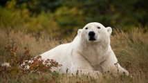 Hon. Mention - Polar Bears - Alisa Houpt - Hudson Bay Odyssey
