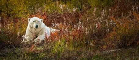 Hon. Mention - Polar Bears - Steve Sinnock - Hudson Bay Odyssey
