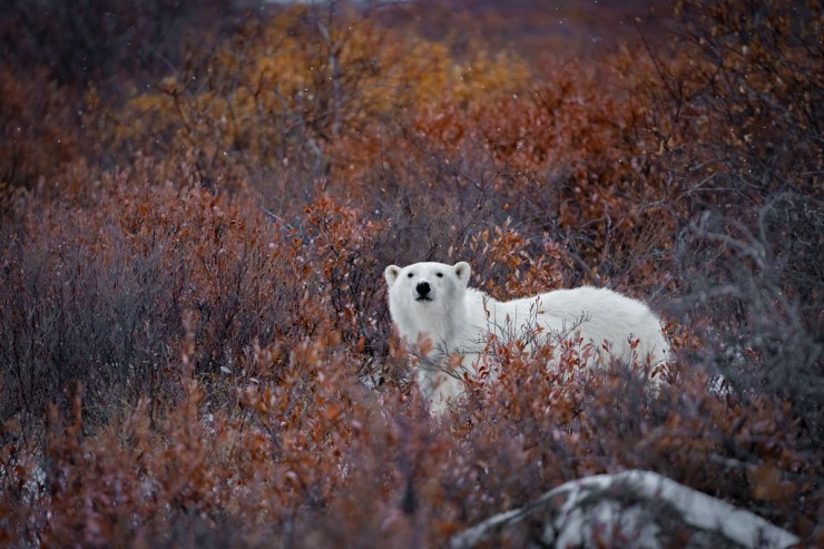 Polar bear in the willows. Polar Bear Photo Safari. Fabienne Jansen photo.