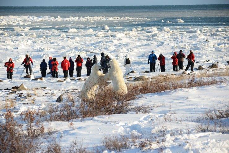 Polar bears sparring on Polar Bear Photo Safari at Seal River Heritage Lodge. Bill Lyne photo.