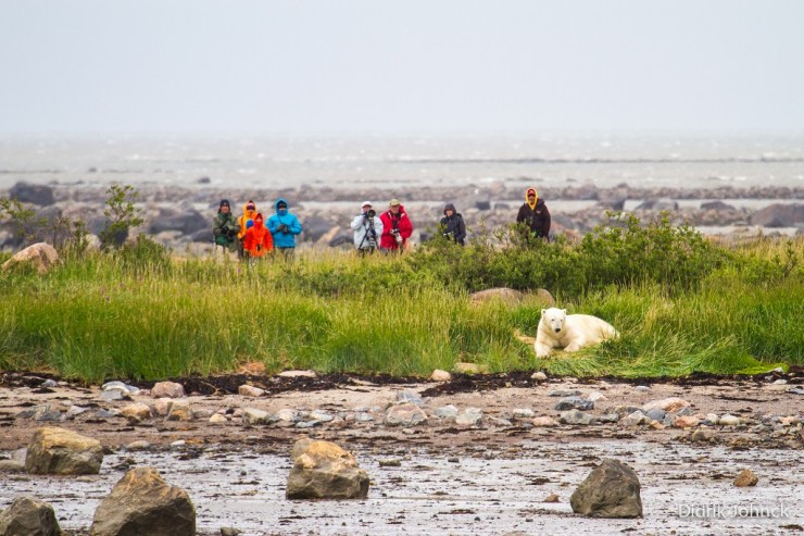 Guests photographing polar bear at Seal River Heritage Lodge. Didrik Johnck photo.