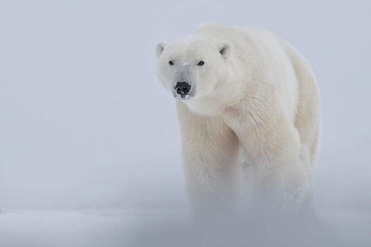 Polar bear emerges from the snow at Nanuk Polar Bear Lodge. Robert Postma photo.