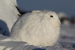 Arctic hare at Churchill Wild's Dymond Lake Ecolodge. Gwynne Whitcombe photo.